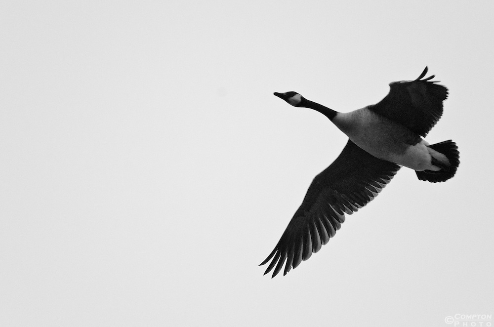 Canada Goose in flight. B&W