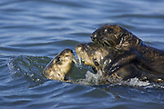 Southern Sea Otter<br /> Enhydra lutris<br /> Breeding male harassing female with pup<br /> Monterey Bay,  CA, USA