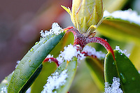 Red stemmed rhododendron with snowflakes - crop