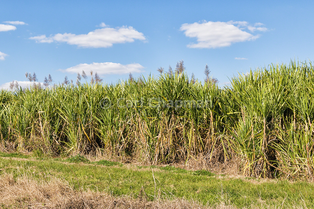 Field of sugar cane on farm under blue sky and cumulus cloud in South Kolan, Queensland, Australia