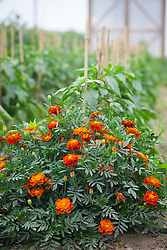 Companion planting. Marigolds planted with peppers