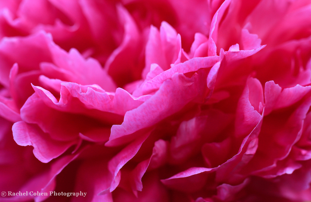 &quot;Ruffled Peony&quot;<br /> <br /> A wonderful close-up of a vibrant hot pink Peony!!<br /> <br /> Flowers by Rachel Cohen