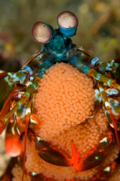 Mantis Shrimp (Odontodactylus scyllarus) with brood of eggs in Lembeh Strait, Indonesia.