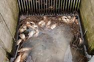 In de winter veroorzaakt sneeuw op het ijs zuurstofgebrek in het oppervlaktewater van sloten, kanalen en vaarten. Vissen gaan hierdoor dood. Wanneer de dooi inzet worden de dode vissen zichtbaar. Ophopingen van dode vissen ontstaan bij duikers en gemalen. Deze dode vissen werden aangetroffen bij het gemaal Ropta in Roptazijl langs de Waddenkust (gemeente Franekeradeel).<br /> <br /> In the winter snow on the ice causes lack of oxygen in the waters of ditches, canals and waterways. Fish can die because of this lack of oxygen. When the thaw starts the dead fish become visible. Accumulations of dead fish can occur . These dead fish were found at the water pumping station Ropta in Roptazijl along the Wadden Sea (Franekeradeel community).