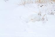 01863-01312 Arctic Fox (Alopex lagopus) in snow Chuchill Wildlife Mangaement Area, Churchill, MB Canada