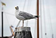 Nederland, Urk, 25-8-2011Een zeemeeuw staat op een houten paal in de haven.Foto: Flip Franssen/Hollandse Hoogte