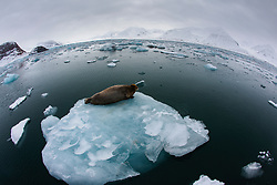 A bearded seal (Erignathus barbarous) laying on an ice floe ,Svalbard, Norway