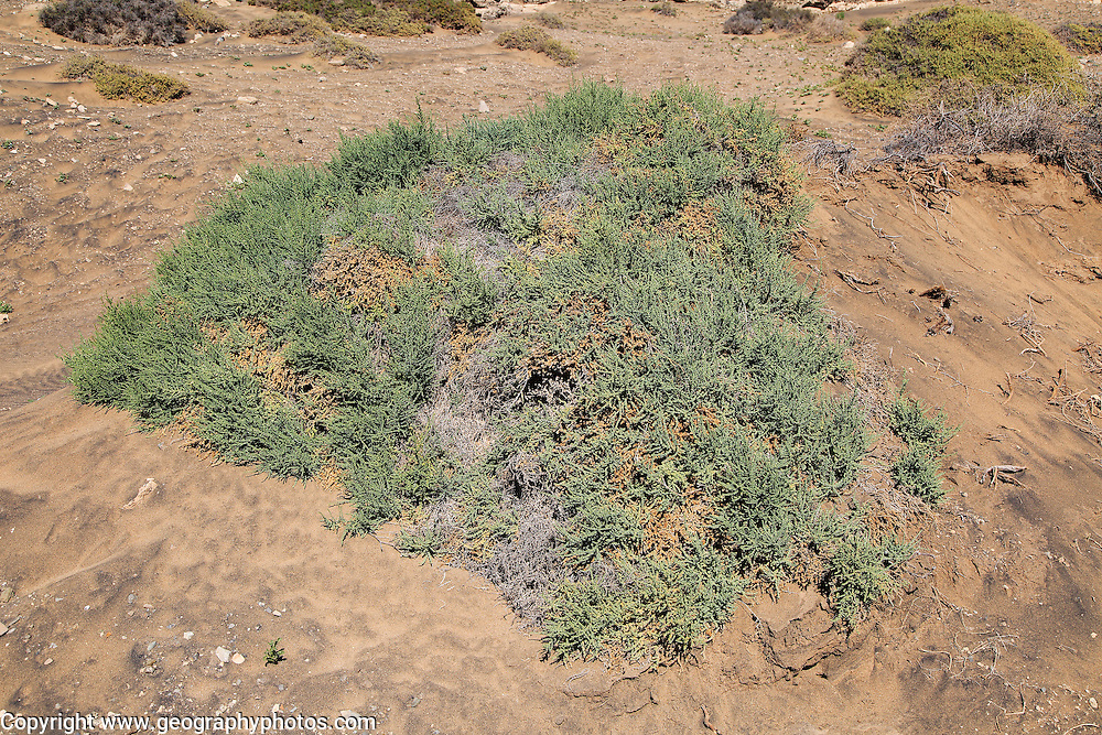 Desert vegetation, near Paraja, Fuerteventura, Canary Islands, Spain