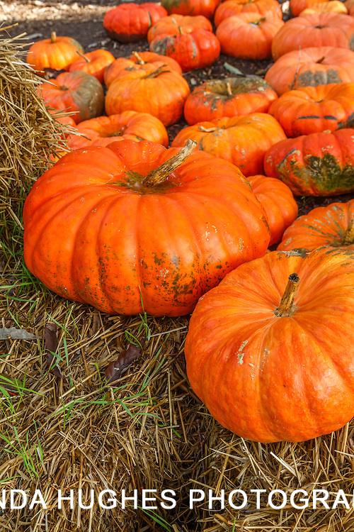 Large Autumn Pumpkins