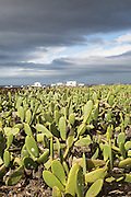 Opuntia ficus-indica prickly pear cactus crop for cochineal production, Mala, Lanzarote, Canary Islands, Spain