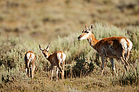 A female Antelope with its two fawns in western Wyoming.