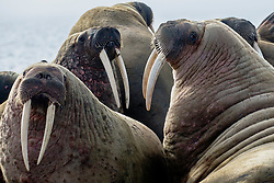 Several walrus bulls (Odobenus rosmarus) displaying their ivory tusks in a colony haul out ,  Svalbard, Norway