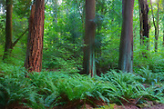 Ferns grow at the base of mature trees, mainly western red cedar and Douglas fir, in Edith Moulton Park, Kirkland, Washington.