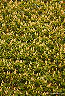 Horse Chestnut Tree aka Buckeye flowers in spring in Whitefish Montana
