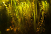 Impressionistic view of the waterlily stems holding the carpet of weed in place along the river banks, Danube Delta, Romania.