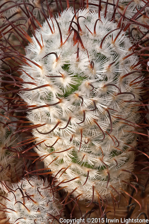 Long red fishook central spines contrast with shorter more numerous white central catus spines.  Focus stacking used to extend the zone of focus in this digital composite of Mammillaria de la Rosa.