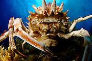 Spinous Spider Crab (Maia squinado) | Dreieckskrabbe