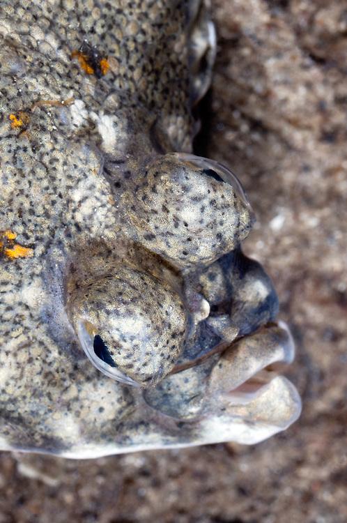 European plaice, Pleuronectes platessa, portrait, Lofoten, Norway,