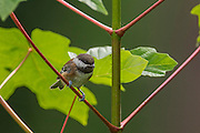 A chestnut-backed chickadee (Poecile rufescens) is perched on a young maple tree in Snohomish County, Washington.