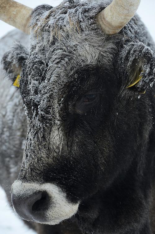 Maremmana primitiva cow, Bos taurus, Tauros/Aurochs breeding site run by The Taurus Foundation, Keent Nature Reserve, The Netherlands