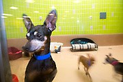 Adoptable small dogs pace their indoor enclosure, waiting for the right person to come in the doc of East Valley Animal Services.