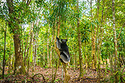 The indri (Indri indri) also called the babakoto, is one of the largest living lemurs endemic to Madagascar
