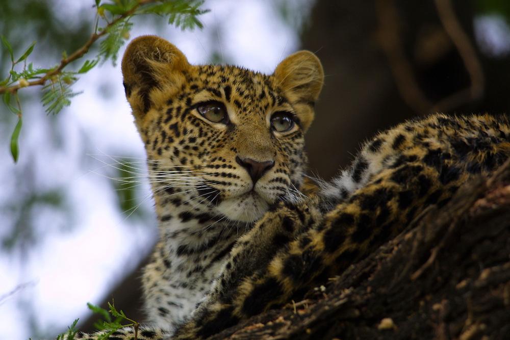 Leopard cub resting in a Yellow Acacia tree in Samburu National Park, Kenya