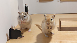 "An art-loving couple who are self-isolating in London have created a miniature art gallery for their pet gerbils.<br /> <br /> 9-month-old brothers Pandoro and Tiramisù were met with a special surprise when their owners Filippo Lorenzin, an independent curator who works at London's Victoria and Albert Museum, and his girlfriend, artist Marianna Benetti, unveiled a DIY miniature museum - the product of four hours of labour during the couple's 14th day of quarantine.<br /> <br /> The little gallery features four exquisite paintings modelled on famous masterpieces.<br /> <br /> Versions of Leonardo da Vinci's Mona Lisa, Edvard Munch's The Scream and Gustav Klimt's The Kiss, all rendered in Benetti's expert hand, grace the museum's walls.<br /> <br /> Each, of course, comes with its own animalistic twist, subbing in a rodent where a human might otherwise feature - tailored, perhaps, to the VIP pint-sized patrons.<br /> <br /> Johannes Vermeer's The Girl With the Pearl Earring, for instance, is re-imagined as The Gerbil With the Pearl Earring.<br /> <br /> Each parody is finished off with a clean cardboard frame and a wall label featuring a QR code.<br /> <br /> Speaking to Bored Panda, Filippo said: ""We visit museums and galleries whenever we can. We are interested in the artworks as much as in the way these are displayed.<br /> <br /> ""Are the QR codes to engage the public working? How comfortable are the gallery stools? Is there any audio guide? etc.<br /> <br /> ""When Marianna suggested to make a sort of doll house for our beloved gerbils as pastime for a lazy Sunday spent locked at home, I suggested to make a small art gallery. She is very good at painting and it was a nice opportunity to keep us busy with a fun project.""<br /> <br /> According to Filippo, the gerbils love the gallery.<br /> <br /> ""They seemed interested in everything but the paintings, which made us laugh,"" he said.<br /> <br /> ""They explored the space interacting with the stool, the signs and the benches instead.""<br /> <br /> Filippo and Marianna have been blown away with the reaction to the project on social media and are open to"