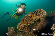 diver examines patch of branching fire coral growing on hull of the wreck of the El Capitan / USS Majaba, an American freighter of 90 m length, sunk in 1946 in Subic Bay, Philippines, lying on its side at a depth of 5-21 m; MR 379
