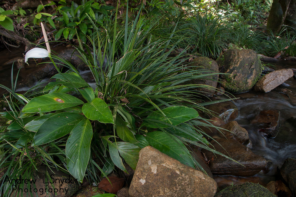 A wild peace lily (Spathiphyllum candicans).