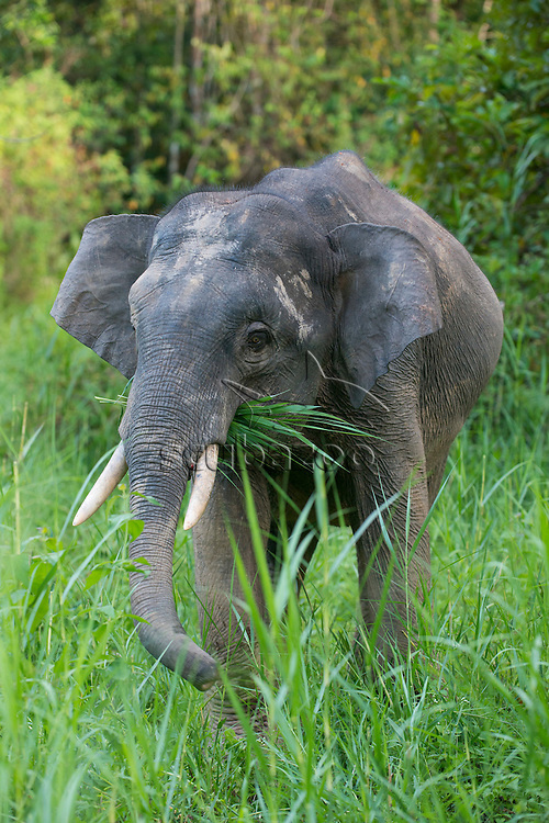 A Bornean Pygmy Elephant, Elephas maximus, in long grass, with grass in its mouth, Kinabatangan River, Sabah, Malaysia.