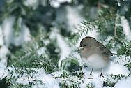 01569-007.07 Dark-eyed Junco (Junco hyemalis) in winter, Marion Co.   IL