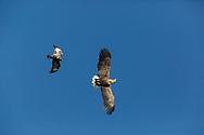White Tailed Eagle (Haliaeetus albicilla) flying adult eagle against blue sky fighting buzzard( buteo buteo)