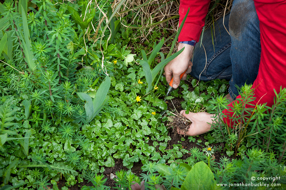 Weeding out celandines from a border by hand using a fork - Ranunculus ficaria