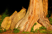 A western red cedar (Thuja plicata) grows over and around boulders on a bluff near Pigeon Point, Bow, Washington. An American robin (Turdus migratorius) rests on one of the exposed roots.