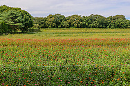 Field of Flowers, , Sagaponack, NY