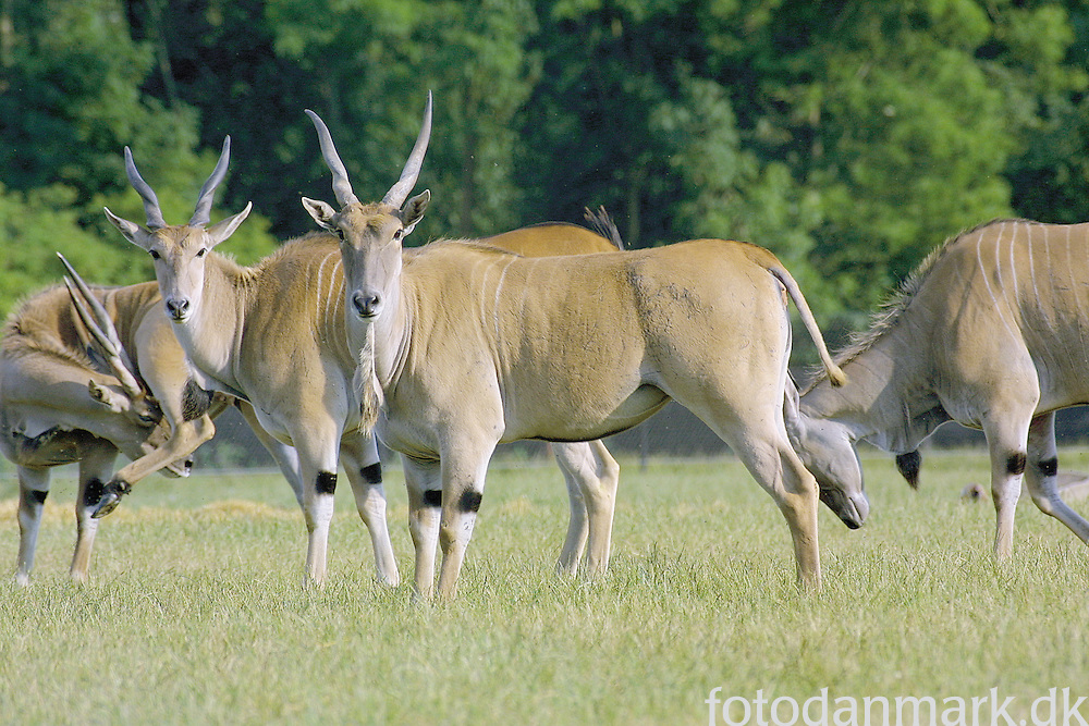 Common eland on the Savannah og Knuthenborg