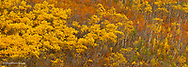 Quaking aspen grove in peak autumn color in Glacier National Park, Montana, USA