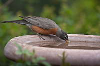 American Robin (Turdus migratorius) male drinking from a  birdbath.  Males:  Black head and dark red breast.  Female:  Dark gray head and pale reddish breast.