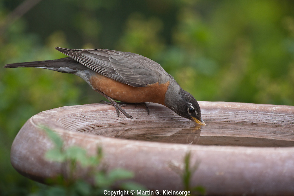 American Robin (Turdus migratorius) male drinking from a  birdbath.  Males:  Black head and dark red breast.  Female:  Dark gray head and pale reddish breast.