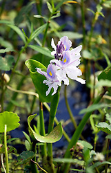 04 June 2015. Jean Lafitte National Historic Park, Louisiana.<br /> An Iris growing in the swamp at the Barataria Preserve wetlands south or New Orleans.<br /> Photo©; Charlie Varley/varleypix.com