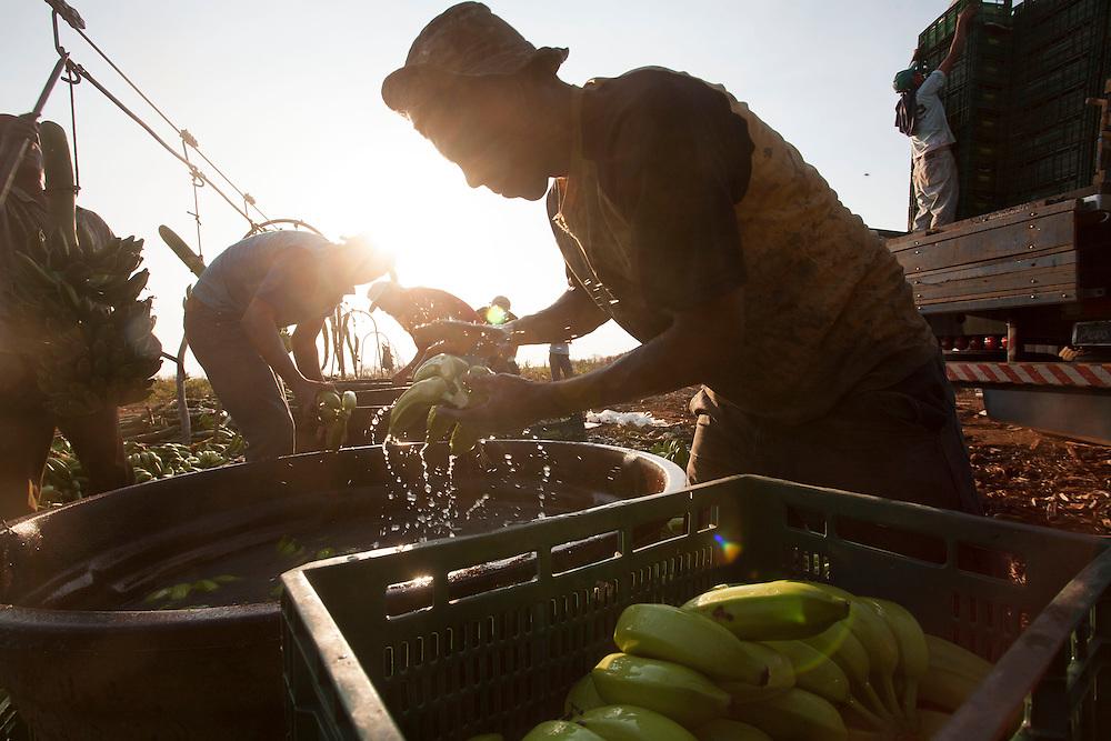 Jaiba_MG, 24 de Setembro de 2007.<br /> <br /> Projeto Beira de Estrada<br /> <br /> Rota Norte e Noroeste de Minas <br /> <br /> Na foto, turma trabalhando colheita de bananas, umas das frutas mais fortes por la.<br /> <br /> Foto: LEO DRUMOND / NITRO