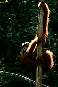 One of orang utan named Winggayo already freely in the forest around Bukit Tiga Puluh National Park after she get reintroduction program in sungai pengian center of reintroduction for orang utan run by Frankfurt Zoological Society(FZS)