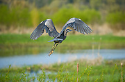 Great Blue Heron - Nisqually Wildlife Refuge - Washington State