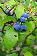 Organic Blueberries (Vaccinium corymbosum) in the Fraser Valley of British Columbia, Canada
