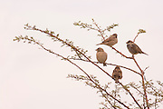 four House sparrows (Passer domesticus) perched on a branch