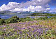 Bluebells, Isle of Eriska