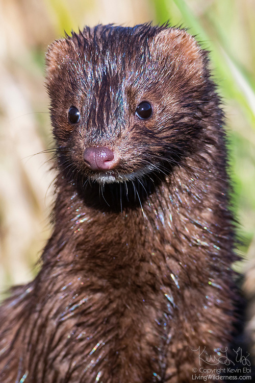 An American mink (Neovison vison) tries to dry out in the sunshine after emerging from Wiley Slough in the Skagit Wildlife Area near Mount Vernon, Washington.