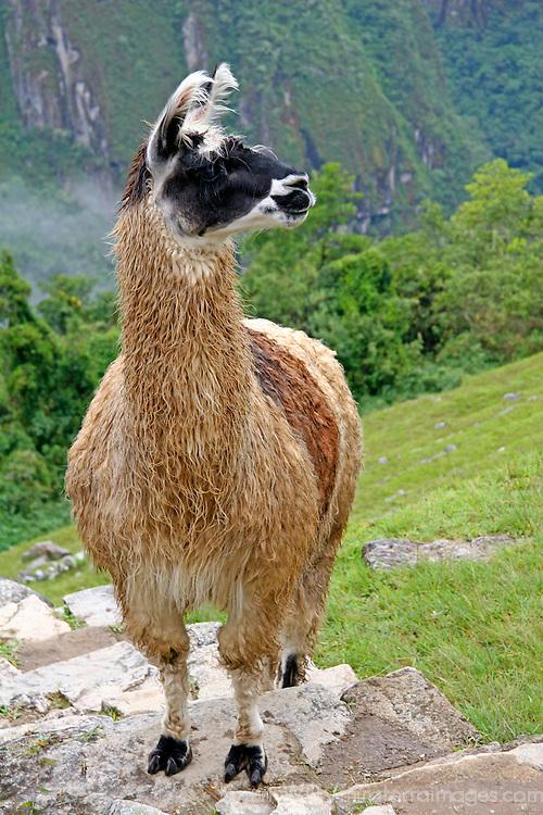 Americas, South America, Peru. Llama posing aon steps at Machu Picchu.