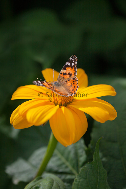 Tithonia rotundifolia 'Yellow Torch'- Mexican sunflower with butterfly